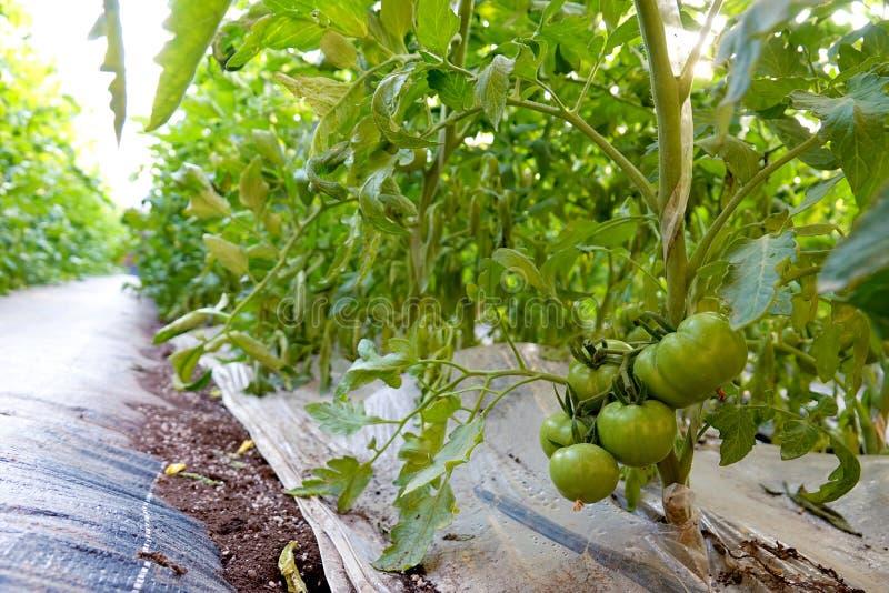 Заводы томата стоковая фотография