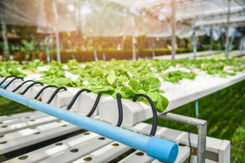 Заводы фермы сада молодого овоща Hydroponic системы и свежего зеленого салата салата масла растя hydroponic стоковая фотография