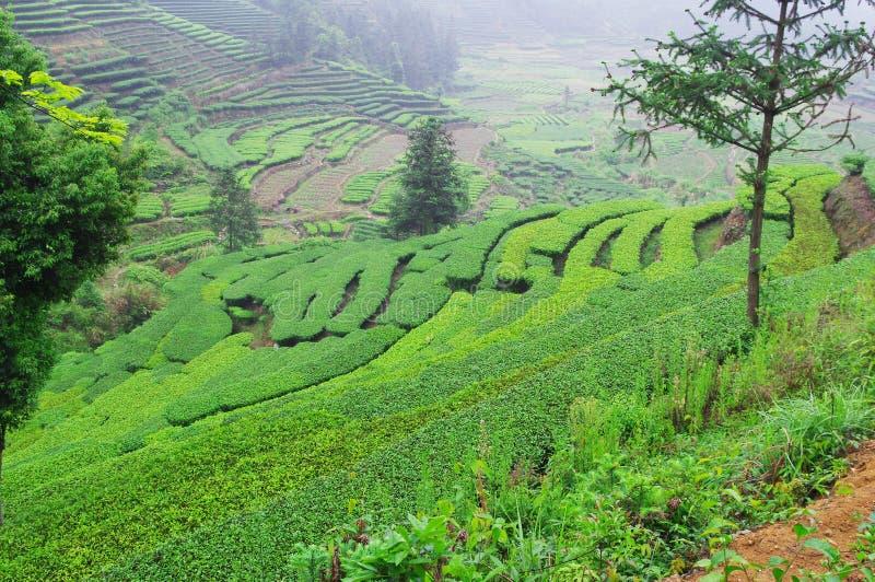 Заводы чая южного Китай стоковые изображения