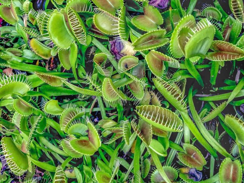 заводы flytrap Венеры стоковые изображения