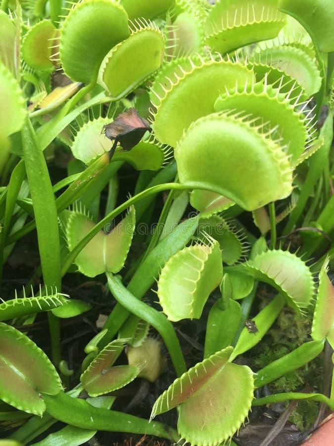 заводы flytrap Венеры стоковая фотография