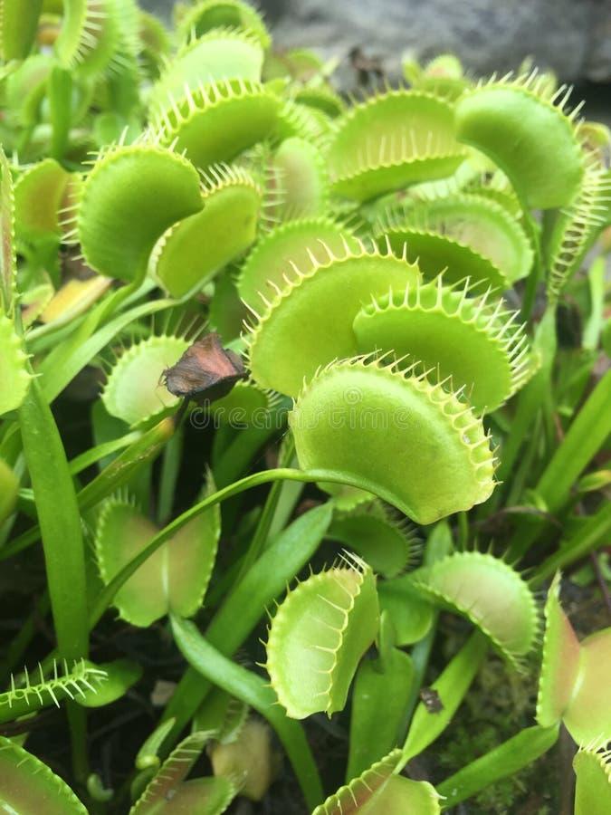 заводы flytrap Венеры стоковое изображение rf