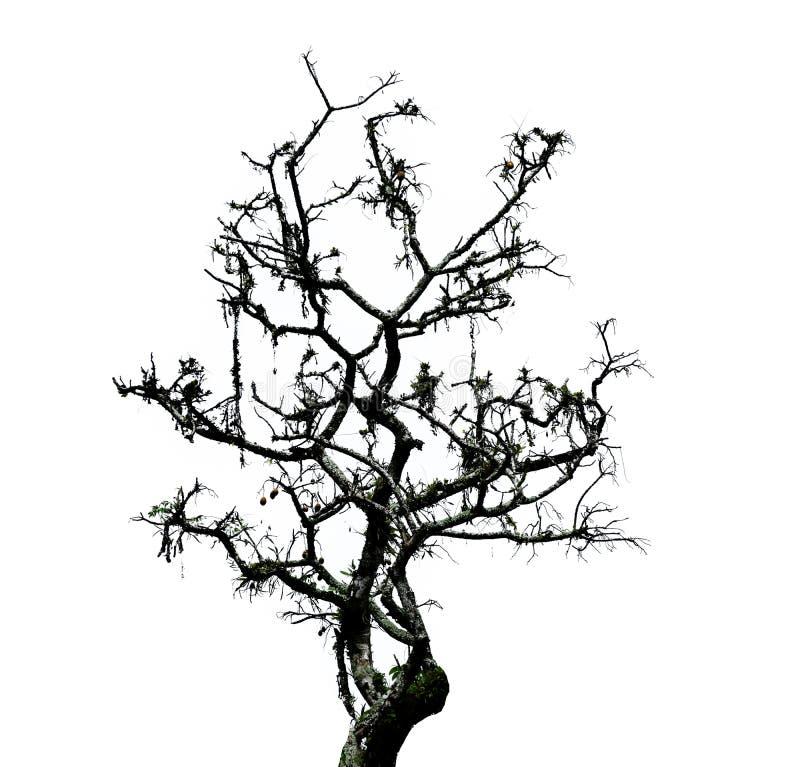 Заводы Monstera взбираются большие деревья в лесе темы изолированном на белой предпосылке стоковое фото