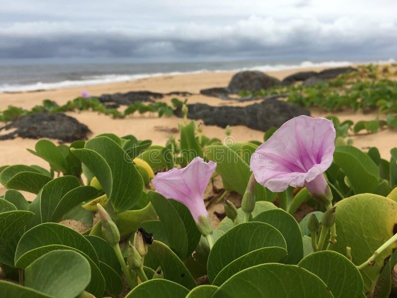 Заводы pes-caprae ипомея цвести во время дождливого и пасмурного утра летом на пляже в Kekaha на острове Кауаи в Гаваи стоковое фото