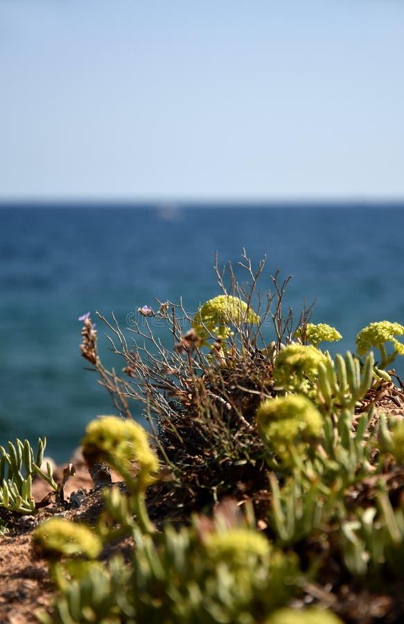 Заводы rockery очитков с голубой предпосылкой океана стоковая фотография rf