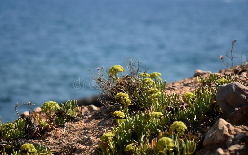 Заводы rockery очитков с голубой предпосылкой океана стоковое фото