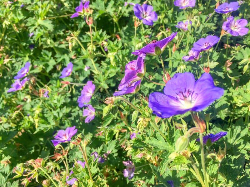 Заводы Rosanne гераниума цветя в конце-вверх стоковая фотография rf