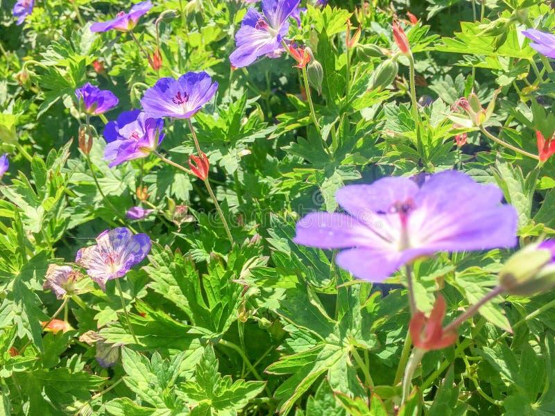 Заводы Rosanne гераниума цветя в конце-вверх стоковая фотография