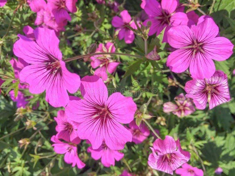 Заводы Rosanne гераниума цветя в конце-вверх стоковое изображение