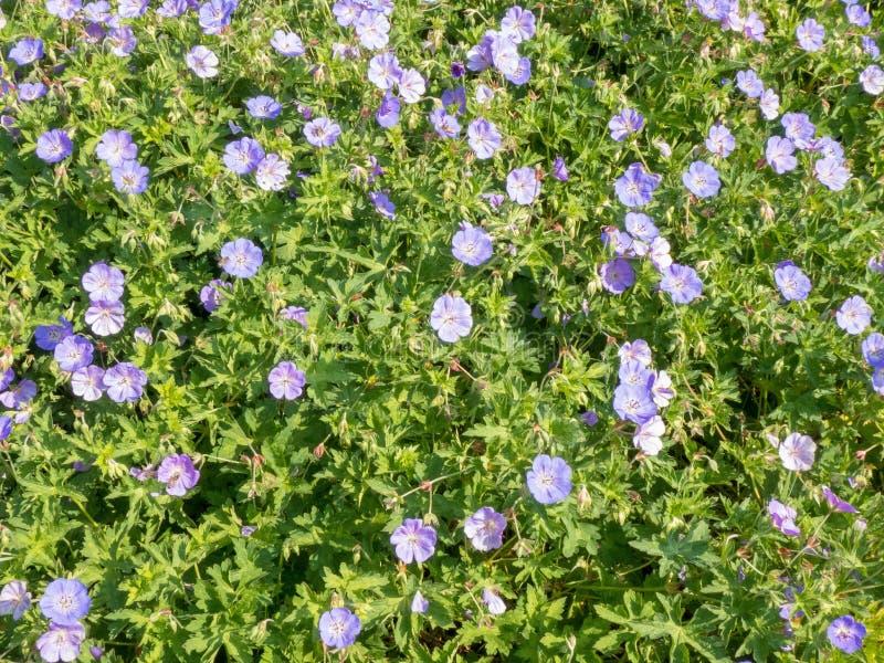 Заводы Rosanne гераниума цветя в конце-вверх стоковое изображение rf