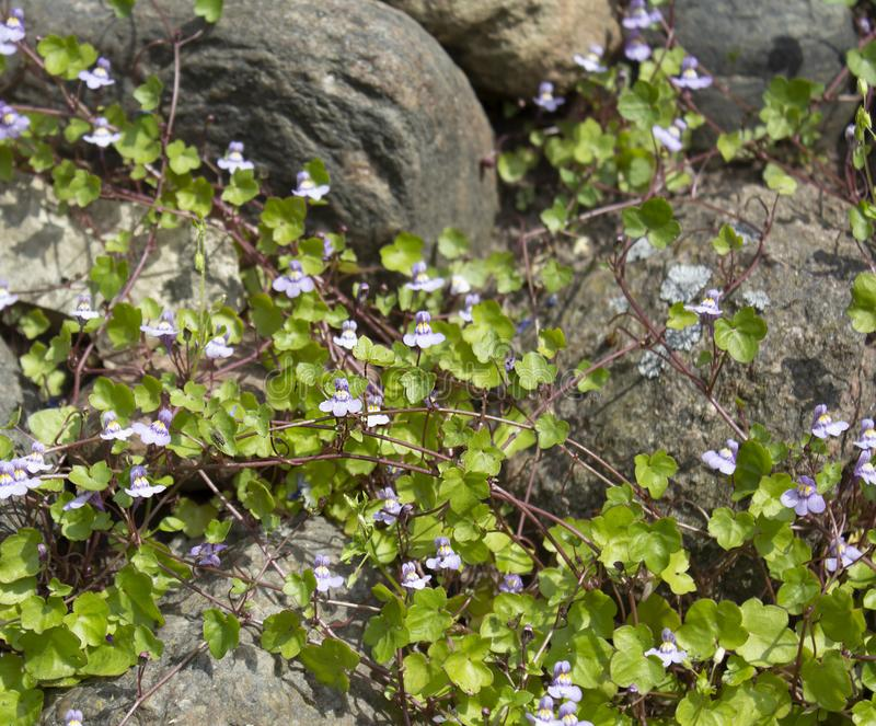 Завод ¡ Ð limbing с небольшими голубыми цветками на больших декоративных камнях стоковое изображение