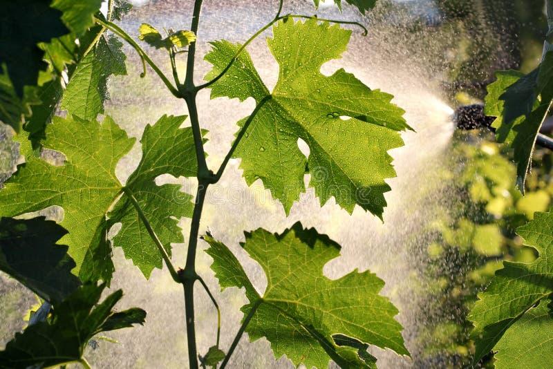 Завод виноградины обрабатывая в винограднике стоковое фото rf