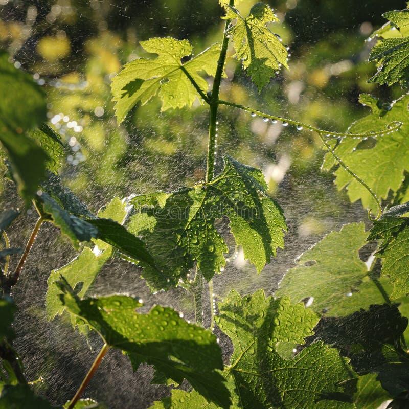 Завод виноградины обрабатывая в винограднике стоковые изображения