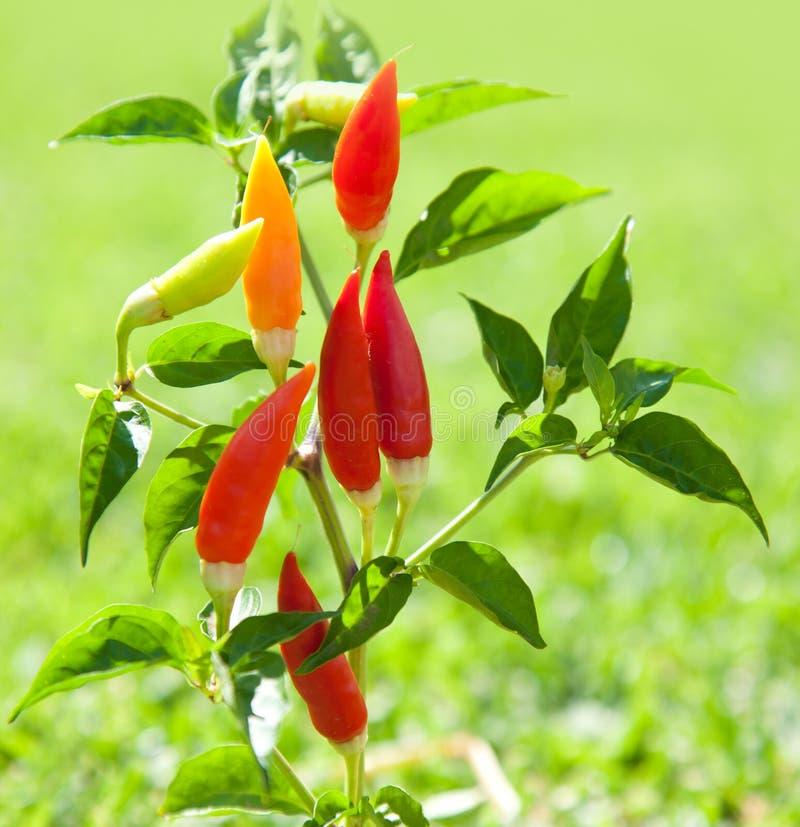 Завод горячих перцев Chili в красной и померанцовом стоковая фотография