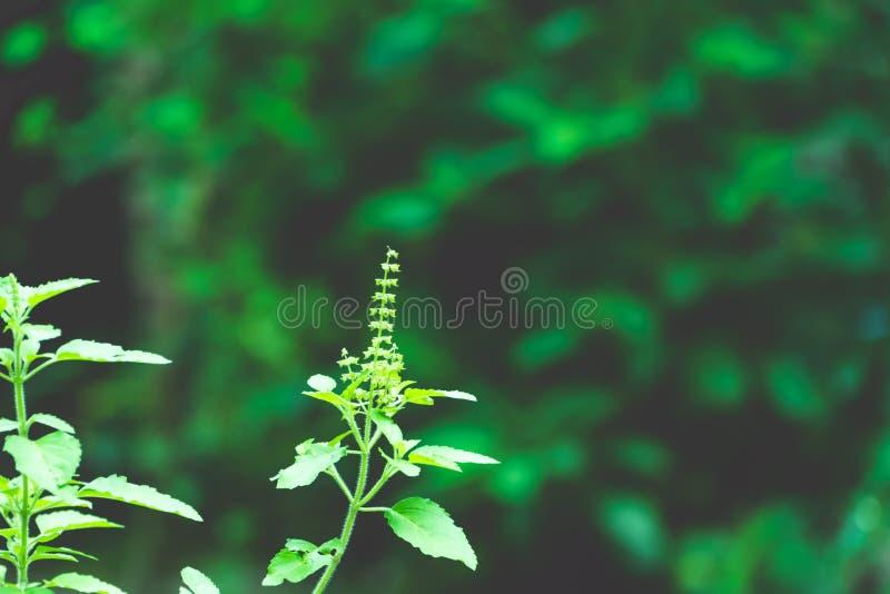 Завод дерева зеленого цвета Tulasi стоковое фото