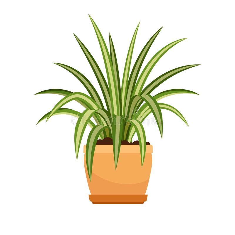 Хлорофитум цветок рисунок