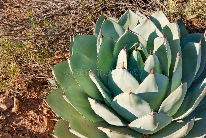 завод кактуса стоковое изображение