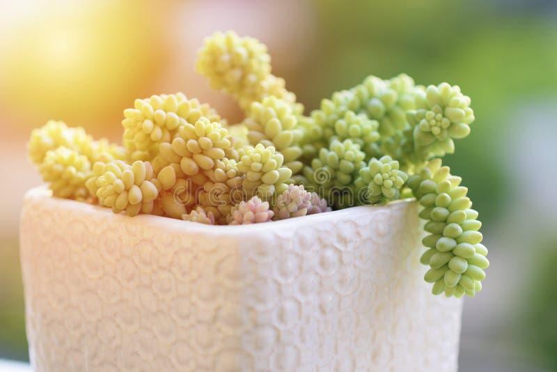 Завод кактуса succulents буррито Sedum стоковая фотография