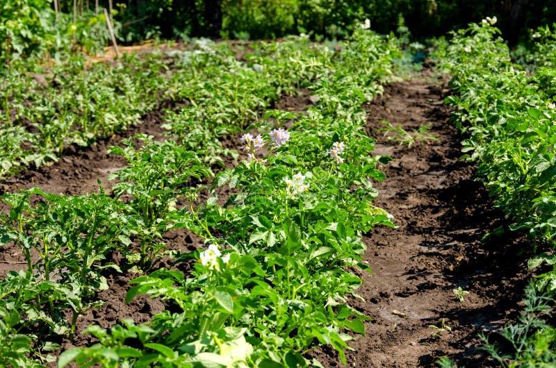 Завод картошки с цветками на кровати овоща стоковая фотография rf