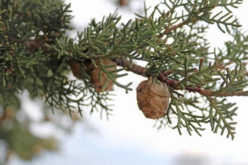 Завод кедра Cypress с конусами семени окруженными с темным ым-зелен масштабом как листья стоковое изображение