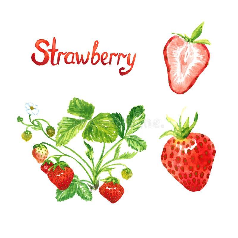 Завод клубники зацветая и с зрелыми ягодами, зрелой ягодой и куском отрезка иллюстрация штока