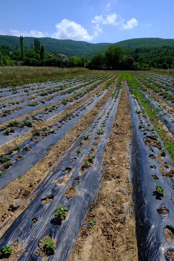 Завод клубники со зрея ягодами в поле Буш, земледелие стоковое фото