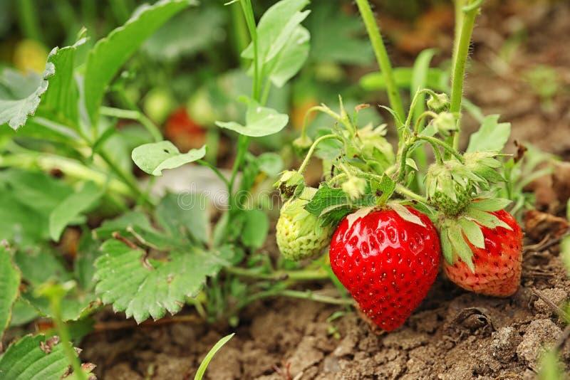 Завод клубники с зрея ягодами в поле стоковое изображение rf