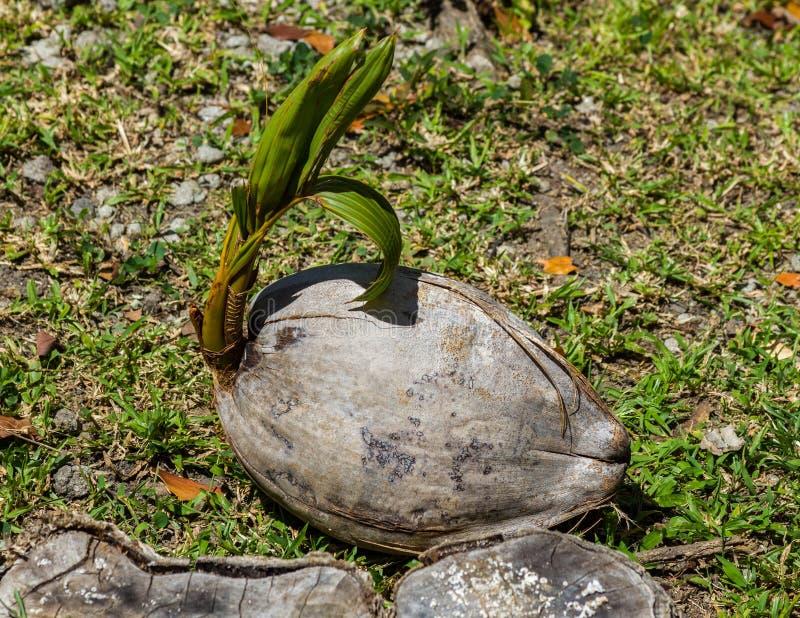 Завод кокоса растущий стоковая фотография rf