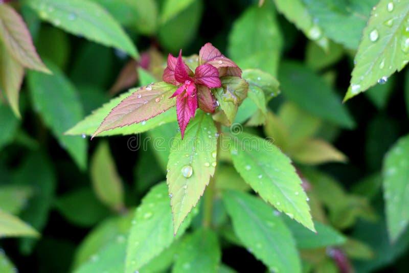 Завод кустарника японские meadowsweet или japonica Spiraea с темным - красный цвет к салатовым лиственным листьям в ovate форме и стоковое изображение rf