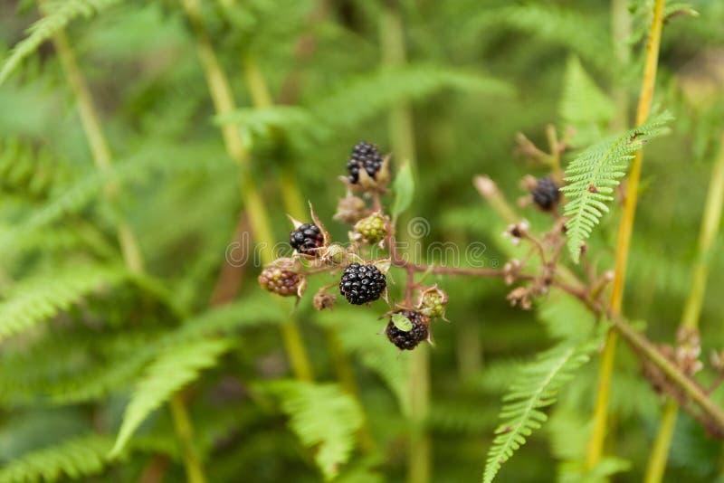 Завод куста ежевики, дикая ягода в лесе стоковое фото