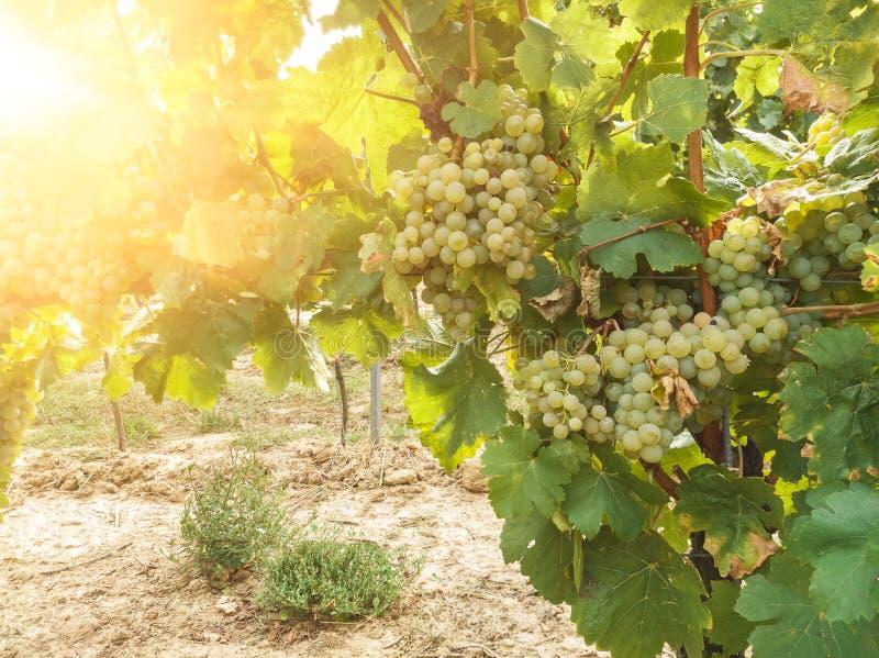 Завод лозы и зрелые виноградины вина в винограднике стоковые фото