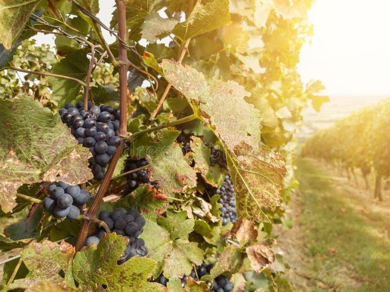 Завод лозы и зрелые виноградины вина в винограднике стоковое изображение rf