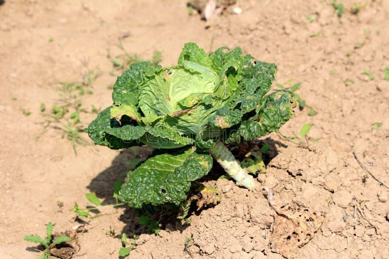 Завод овоща одиночной капусты листовой капусты или лист выносливый ежегодный зеленый вышел расти в местный окруженный сад с сухой стоковые изображения