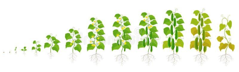 Завод огурца Этапы роста r Зрея период Жизненный цикл овоща бесплатная иллюстрация