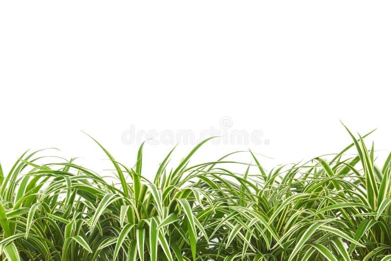 Завод орнаментального завода, chlorophytum, variegatum, comosum или паука изолированный на белой предпосылке стоковая фотография rf