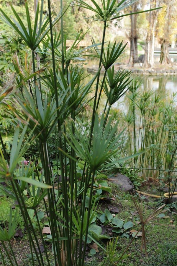 Завод папируса Cyperus в саде стоковые фото