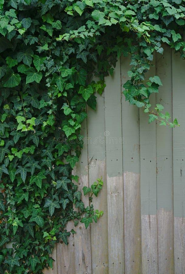 Завод плюща на неровно покрашенной деревянной загородке стоковые изображения rf