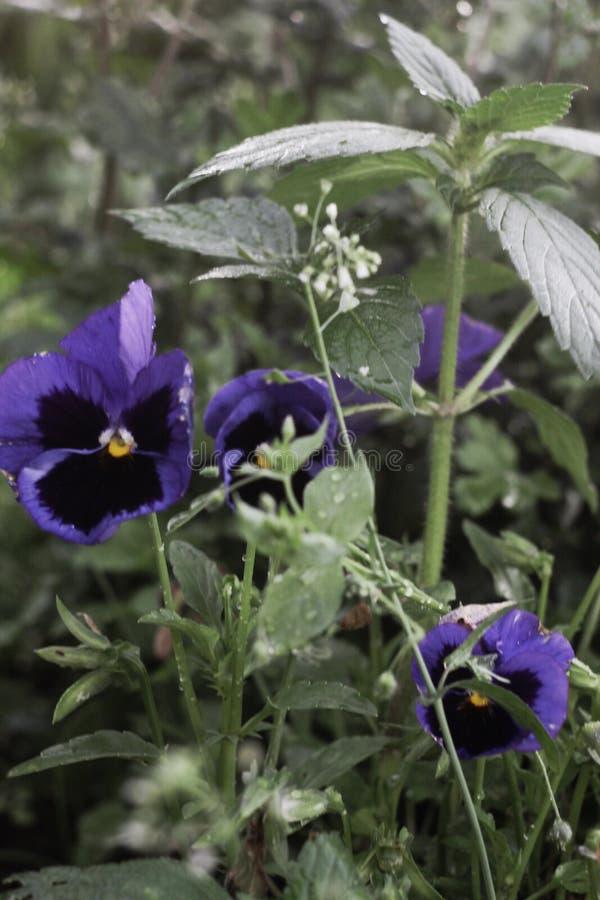 завод принадлежит к фиолетовой семье стоковое фото