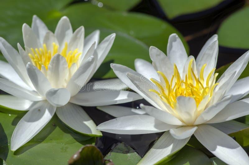 Завод пруда hermine Nymphaea цветя, красивая яркая лилия белой воды в цветени, желтом центре стоковое фото rf