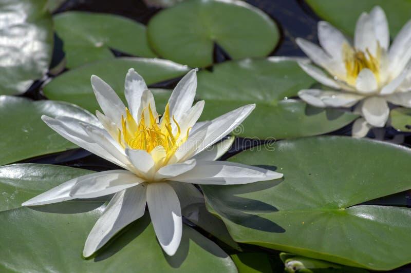 Завод пруда hermine Nymphaea цветя, красивая яркая лилия белой воды в цветени, желтом центре стоковые фотографии rf