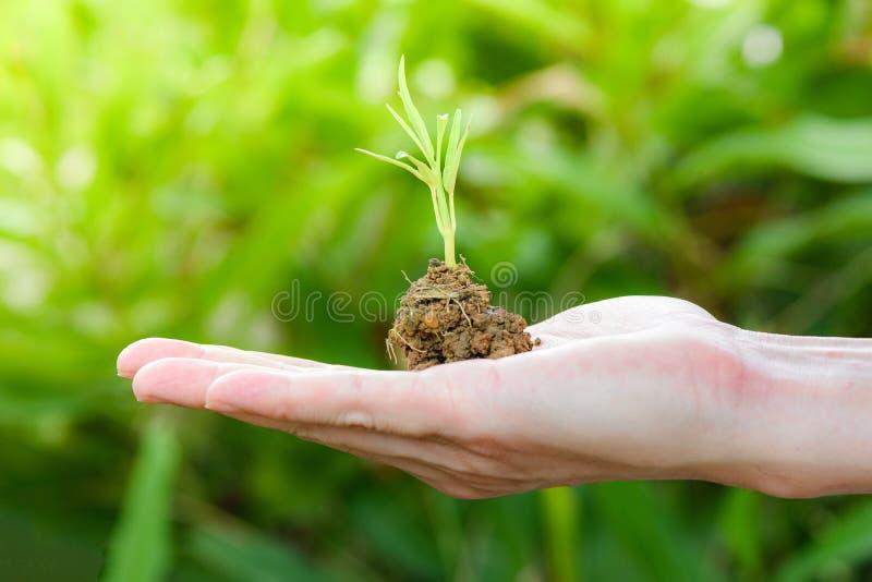 Завод растя в наличии почва в руке с зеленым земледелием молодого завода растя и осеменяя природу зеленого цвета экологичности ут стоковая фотография