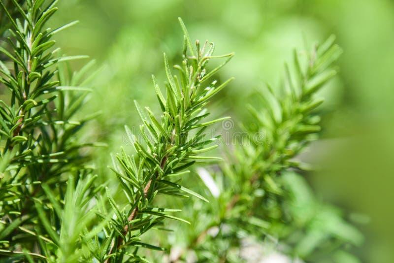 Завод Розмари выходит в предпосылку зеленого цвета природы сада/officinalis Rosmarinus стоковое изображение rf