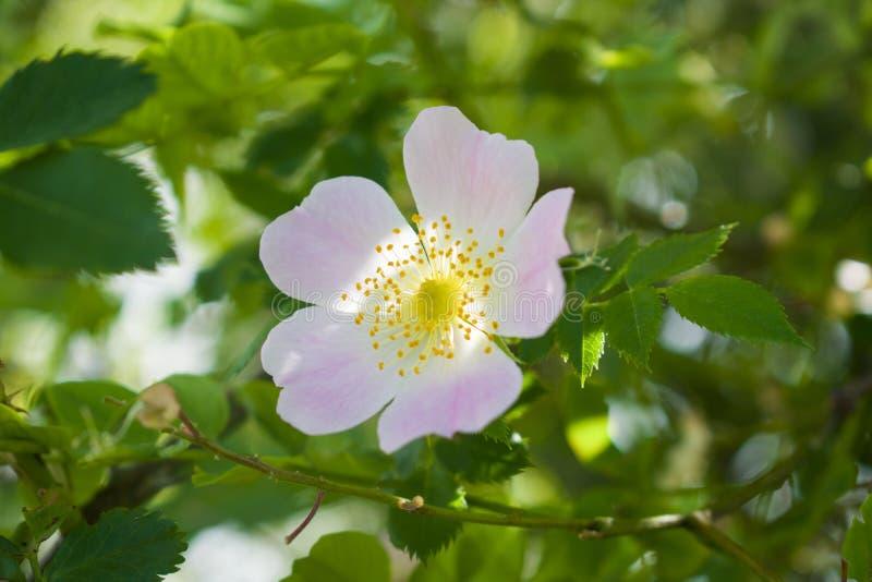 Завод сада бедер красивого цветка зацветая стоковое фото rf