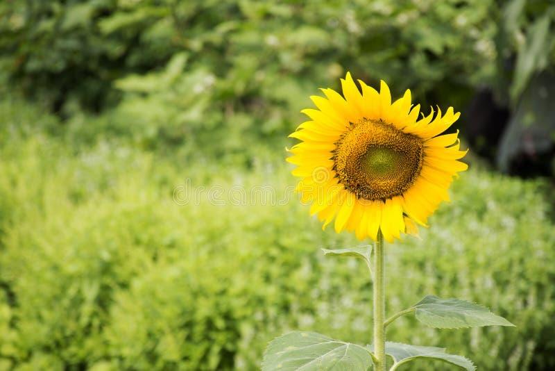 Завод солнцецвета на саде на внешнем стоковые изображения rf