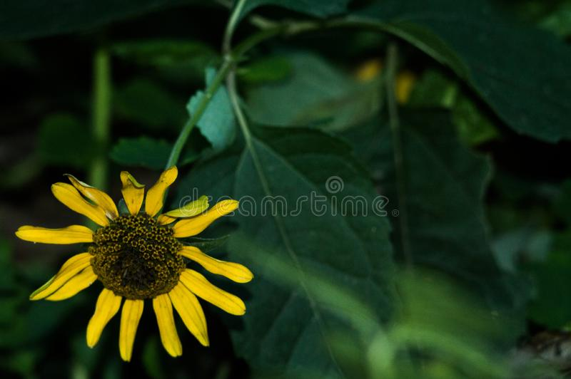 Завод солнцецвета приносит семена подсолнуха и постное масло для еды стоковые фото