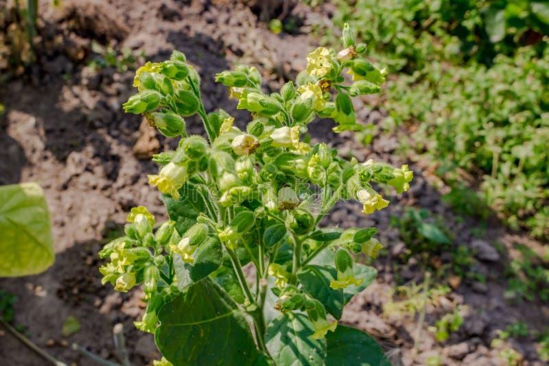 Завод табака с желтыми цветками в саде стоковая фотография rf
