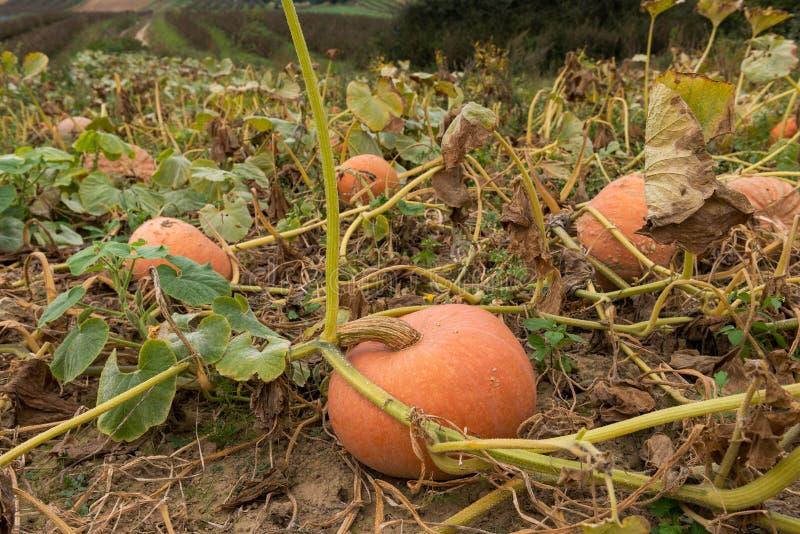 Завод тыквы Зрелые тыквы около времени сбора растя на заводе тыквы стоковое изображение