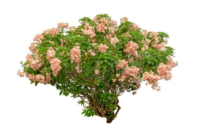 Завод цветка Dona изолированный на белой предпосылке, зеленые di кустарника листьев отрезал с путем клиппирования стоковое изображение rf
