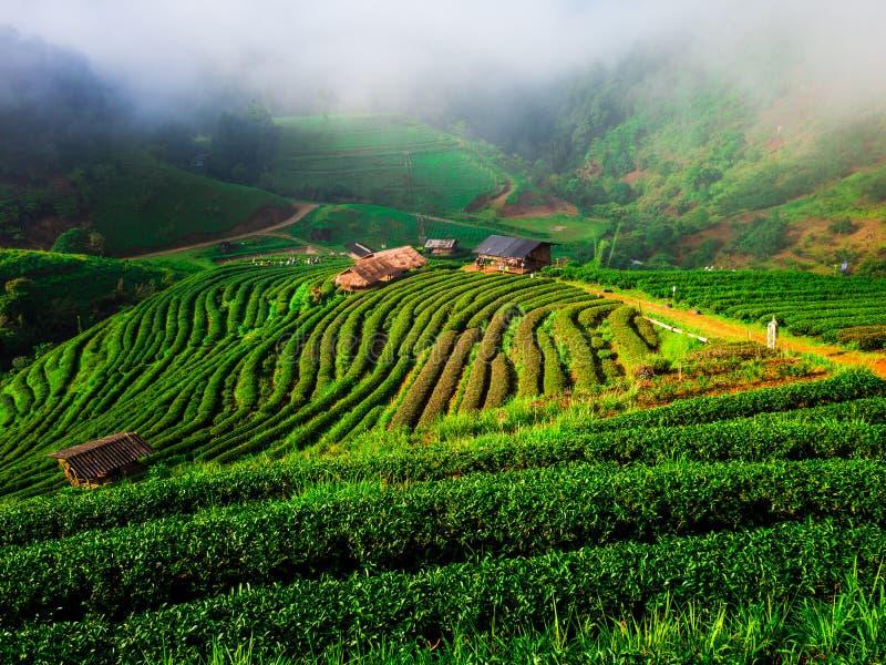 Завод чая сбора племени холма Hmong в утре на cha 200 rai стоковое изображение