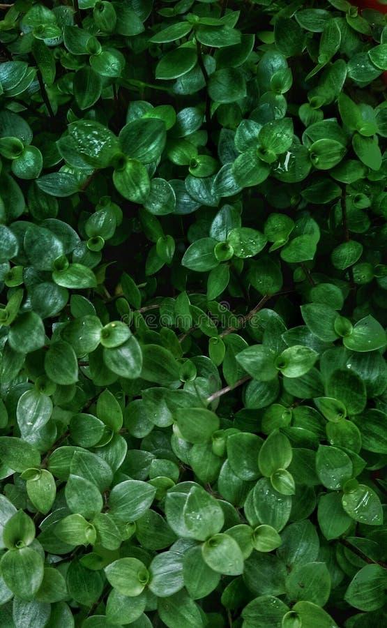 Завод Centella asiatica стоковые фото